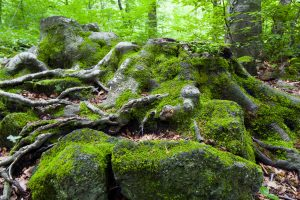 Beech forest in Fageda d en Jorda Catalonia Spain