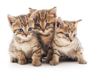 Three small kittens isolated on a white background.