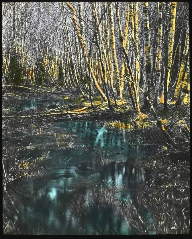 Image of alders on Elwha river