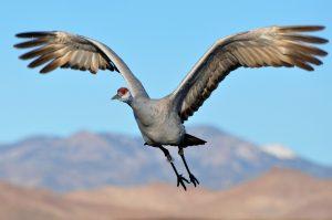 Sandhill Crane in flight. Source: Larry Lamsa, Flickr.