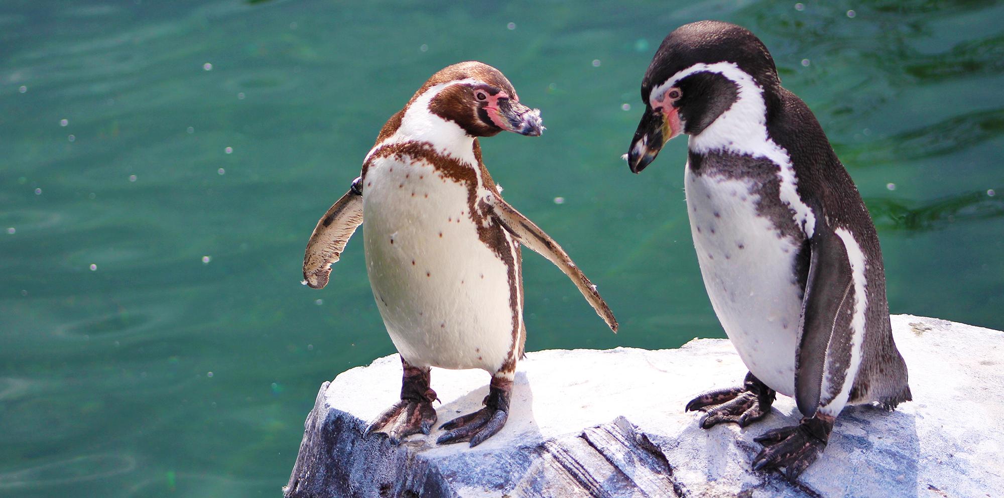 Penguins on a rock.