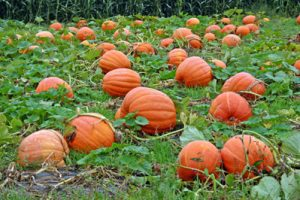Pumpkins in a pumpkin patch in New York