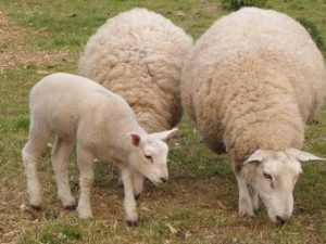 sheep-and-lamb-1_21174026