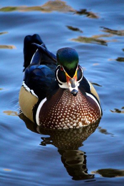 """Lauren Lang, """"Wood Ducks"""", Photography"""