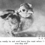 "Photo of pheasant chick with text ""I was ready to eat and leave the nest when I was one day old"""