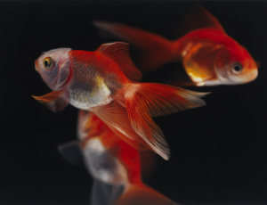 Oil painting of gold fish
