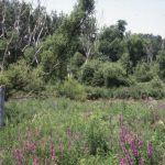 Indian Ridge Marsh, 1998. Source: Open Space Section Records, Photographs Series, Box 6, Binder 5, Special Collections, Chicago Public Library