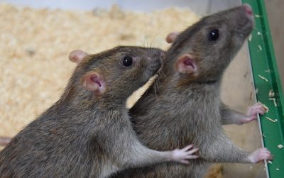 One rat grooming another rat