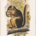Print of a Western Red Squirrel