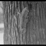 Squirrel coming down a tree