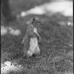 Photo of a squirrel standing up on its hind legs on the Boston Common