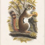 Print of a red squirrel