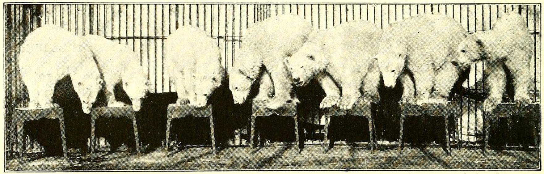 Seven polar bears forced by Wilhelm Hagenbeck to perform tricks.