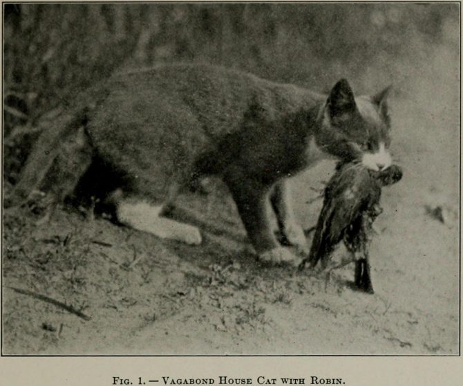 Vagabond House Cat with Robin. From Forbush (1916)