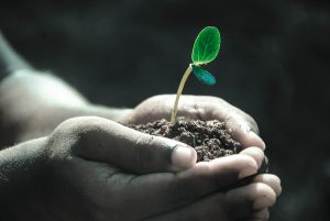 Hands holding a seedling in soil