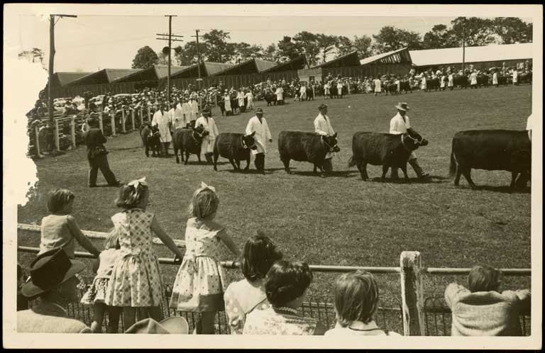 Bull parade, Canterbury Agricultural and Pastoral Show, Christchurch. Albert James North c. 1950. CCL-Arch978-1-007