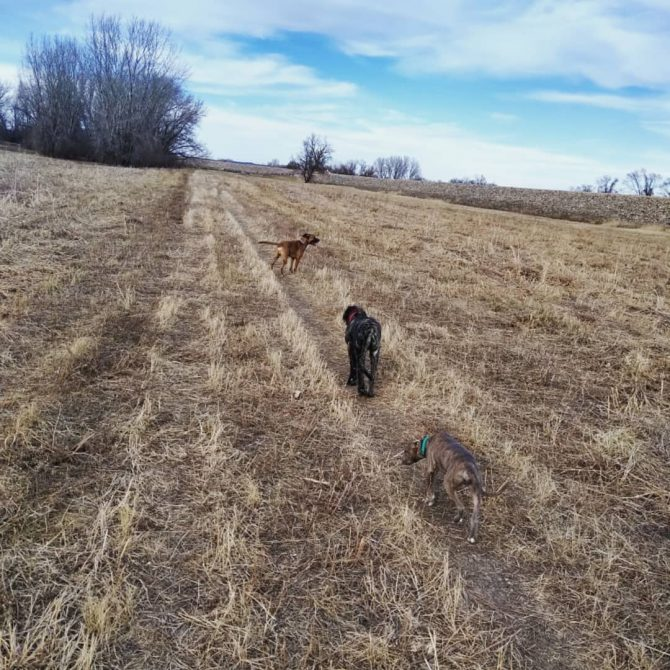 photograph of our dogs in an open field at the dog park.