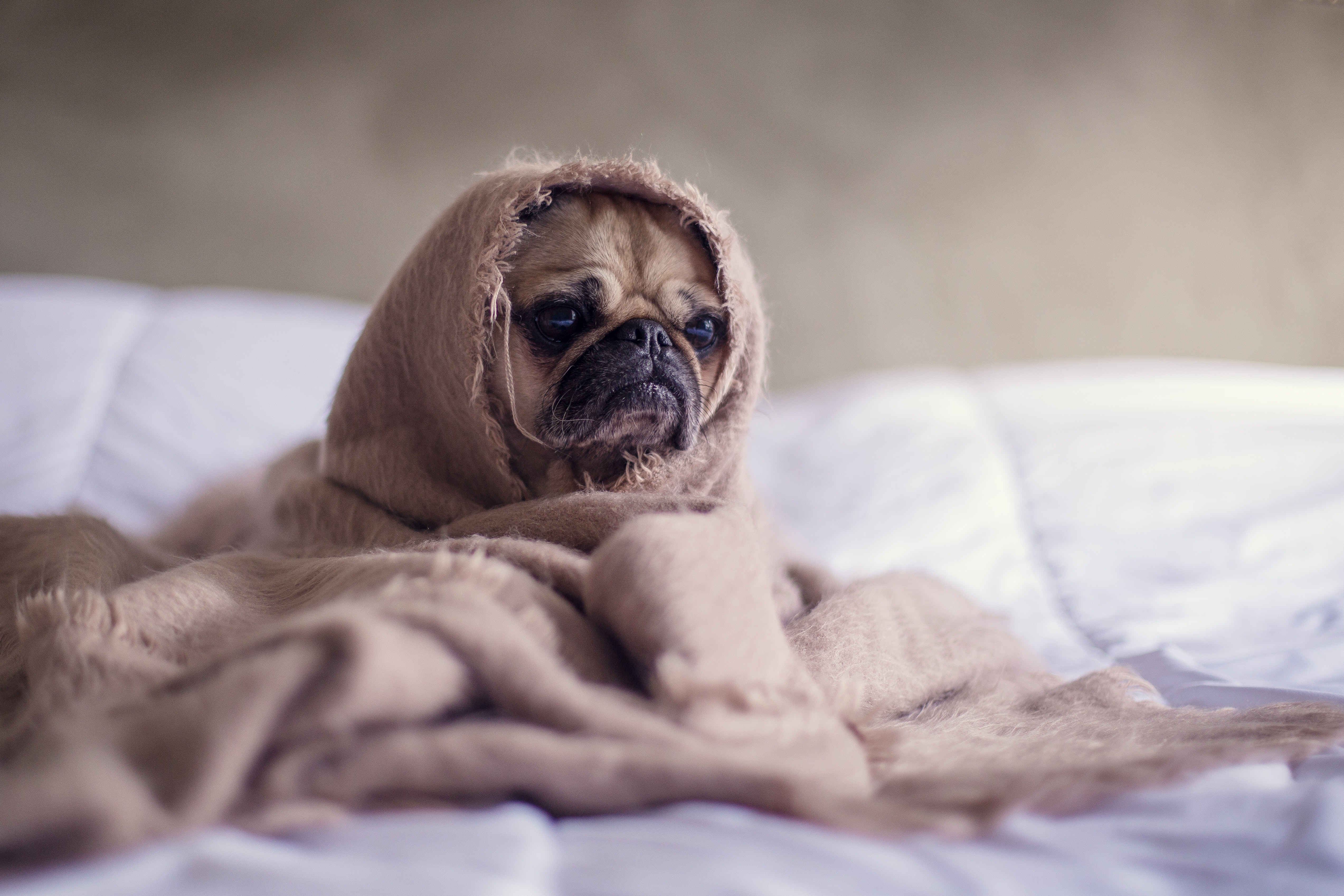 Sad pug wrapped in blanket