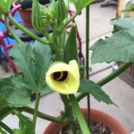 yellow flower on a green potted okra plant