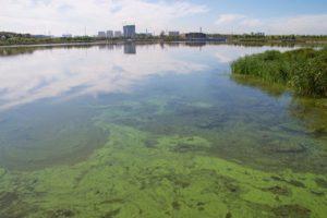 Algal bloom on a lake