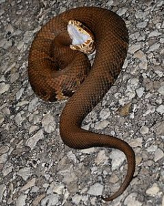 Cottonmouth snake displaying fangs and white mouth