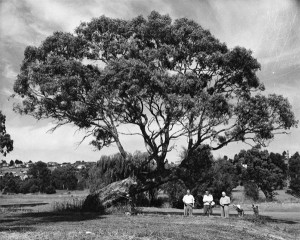 Old Bent Tree, Rosanna Golf Course unknown Date.  Heidelberg Historical Society collection.