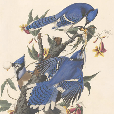 Birds from the Library's Audubon Birds of America
